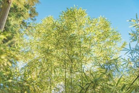 Dwarf Green Stripe Bamboo