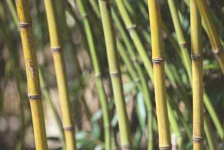 Green-Glaucous Bamboo
