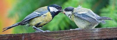 Parent great tit feeding hatchling.  Image courtesy madmcmojo.