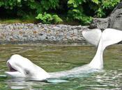 Beluga Whale Latest Resident Labrador