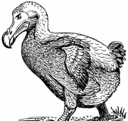 Featured Animal: Dodo