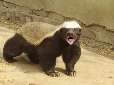 Why The Honey Badger Is The Most Fearless Animal on The Planet