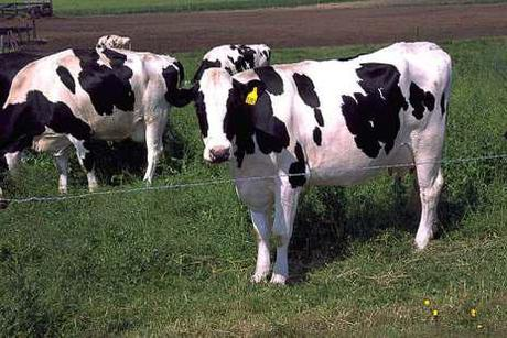 Cattle Herd Not Killed By GMO Grass; Deaths Still A Mystery