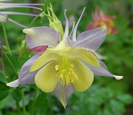 C-c-c-Crazy for Columbines