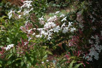 Jasminum polyanthum Flower (24/04/2011, London)