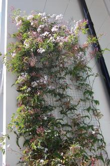 Jasminum polyanthum (24/04/2011, London)