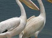 "Lucy Ricky, African Great White Pelicans Scene Stealers ""Dolphin Tale"""