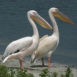 Lucy & Ricky, African Great White Pelicans Are Scene Stealers In