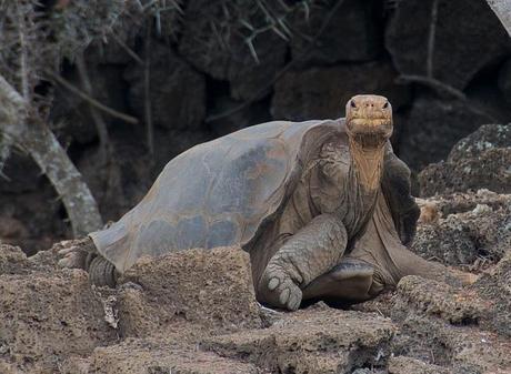 Extinct: last Pinta giant tortoise, Lonesome George, passes away
