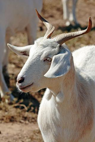 An Eco-Friendly Lawnmowing Solution: Goats