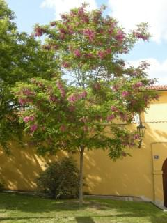 Robinia x ambigua 'Idahoensis' (17/05/2012, Prague, Czech Republic)