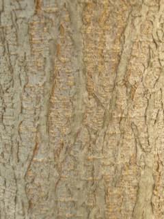 Robinia x ambigua 'Idahoensis' Bark (17/05/2012, Prague, Czech Republic)