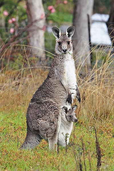 You're in court and the Judge is a large marsupial