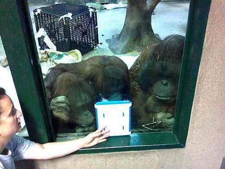 Orangutans using FaceTime: image via thinkdigit.com