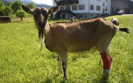 cute goat photos