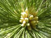 Plant Week: Pinus Peuce
