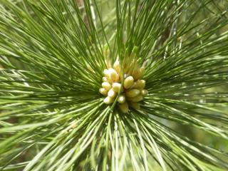 Pinus peuce Flower (17/05/2012, Prague, Czech Republic)