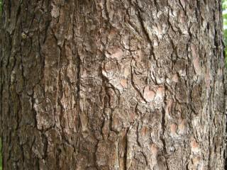 Pinus peuce Bark (17/05/2012, Prague, Czech Republic)