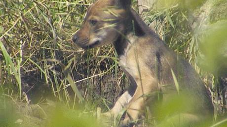 Red Wolf pup born at Point Defiance Zoo: image credit: KING