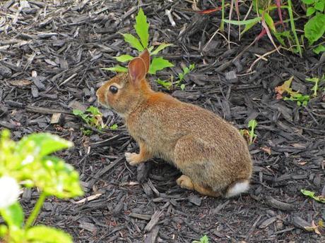 Rabbit training, an ugly spirea and beautiful devastation