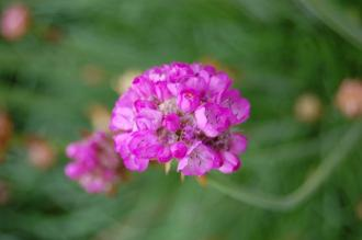 Armeria maritima 'Splendens' Flower (05/05/2012, Kew Gardens, London)