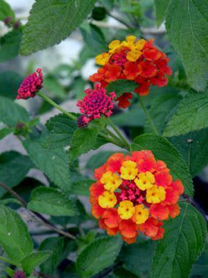 Turkish Flowers