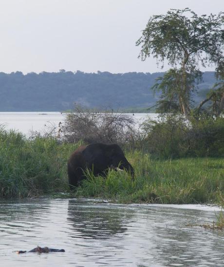 Bull elephant along the Kazinga Channel, Queen Elizabeth National Park
