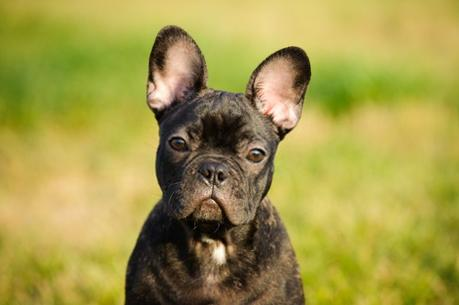 French Bulldog Dog Breed – Temperament, Facts and Pictures
