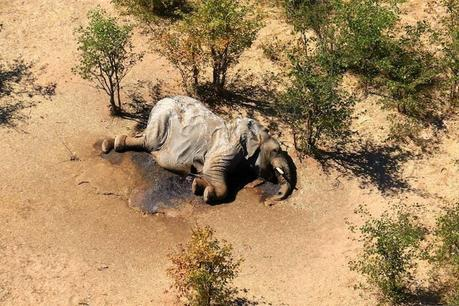 Researcher Believe They Know What Caused Mass Elephant Deaths in Botswana