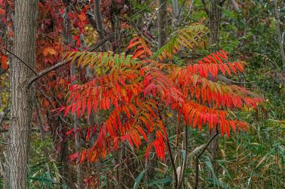 Three kinds of red [fall foliage]