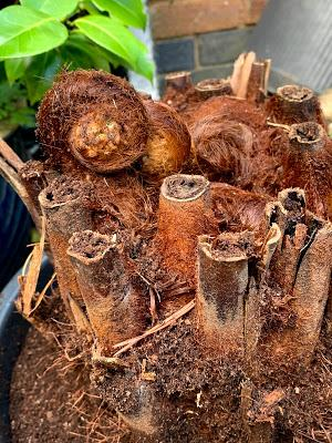 The Great Tree Fern Saga