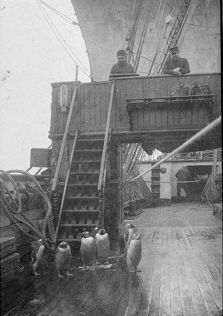 Early photography: Penguins on deck, S. S. Gauss