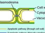 Difference Between Symplast Vacuolar Pathway
