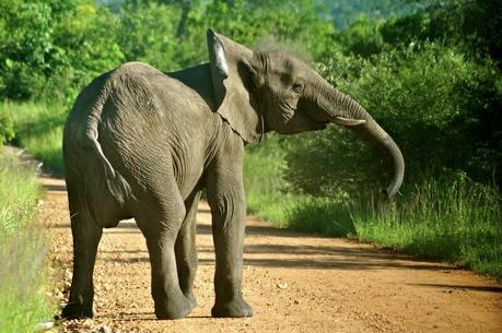 Returning Elephants have Stunning Impact on Africa's Virunga National Park