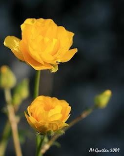 Eco-hydrology: Ranunculus aris