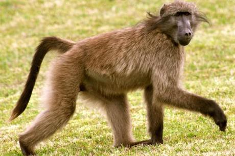 south african wildlife baboon