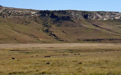 south african wildlife black wildebeest herd
