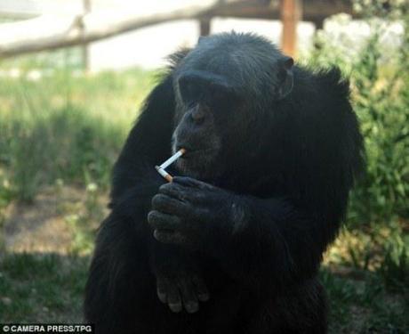 Chinese Zoo Chimpanzee Lights Up Smokes, Guzzles Beer
