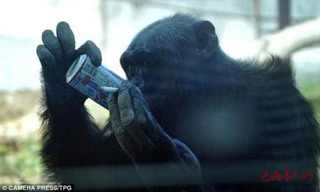 Chinese Zoo Chimpanzee Lights Up Smokes, Guzzles Beer