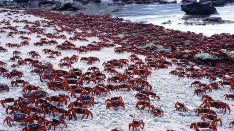 Red crabs flock to the shore of Christmas Island, Australia, every year to mate.: Image: Max Orchard via abc.net.au