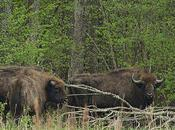Bialowieza Forest Remarkable Remnant Europe's Primeval Past