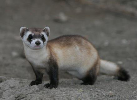 Black-Footed Ferret (Photo by USFWS Mountain Prairie/Creative Commons via Wilimedia)