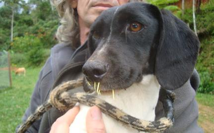 Dog Found With Porcupine Quills in Her Face Gets Rescued ...