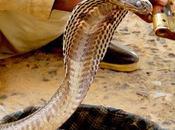 Snake Charming Facing Days