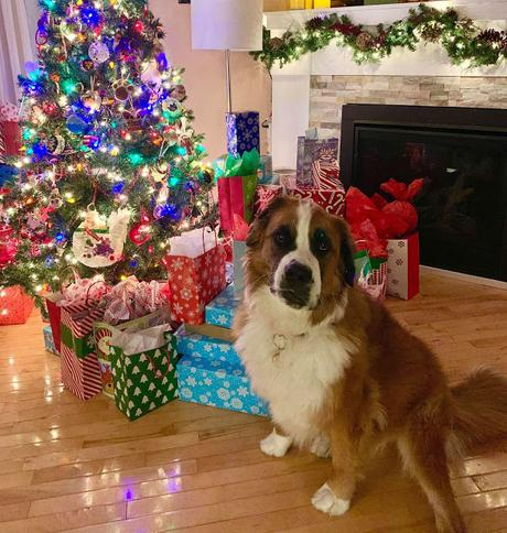 Deck the halls: Merry Christmas and happy holidays Saint Bernese dog