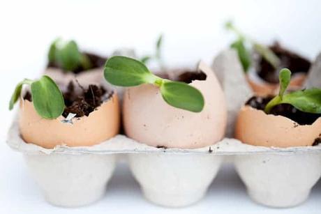 photo-green-seedlings-growing-egg-shells
