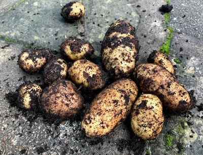 The Veg Diaries - fresh potatoes for Christmas and the New Year