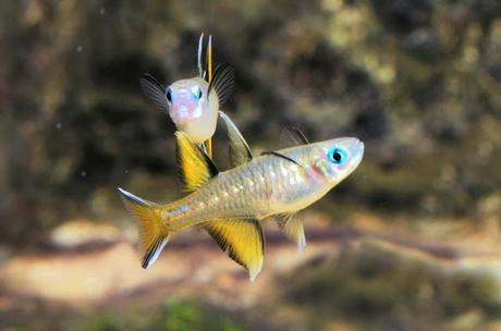 Pacific Blue eyed fish from Australia to - some history of Austria !!