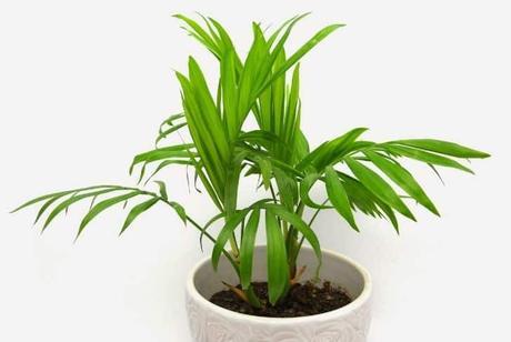 Chamaedorea cataractarum