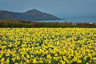 Yellow - Daffodils